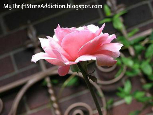 Perfect pink rose