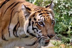 A-TIGER