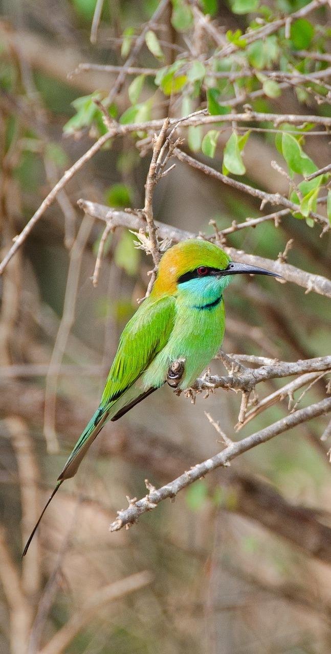 A little green bee-eater.