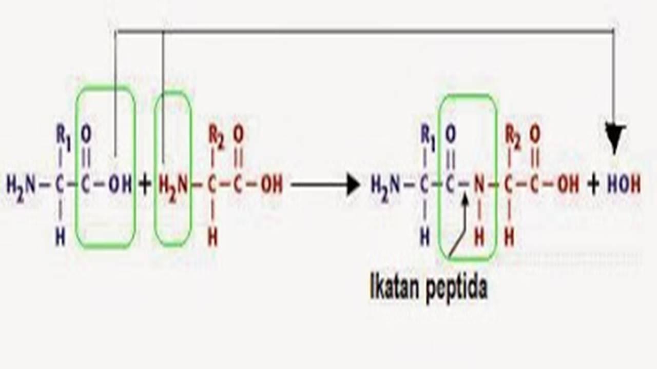 Trik Super Kilat Memahami Ikatan Peptida pada Protein