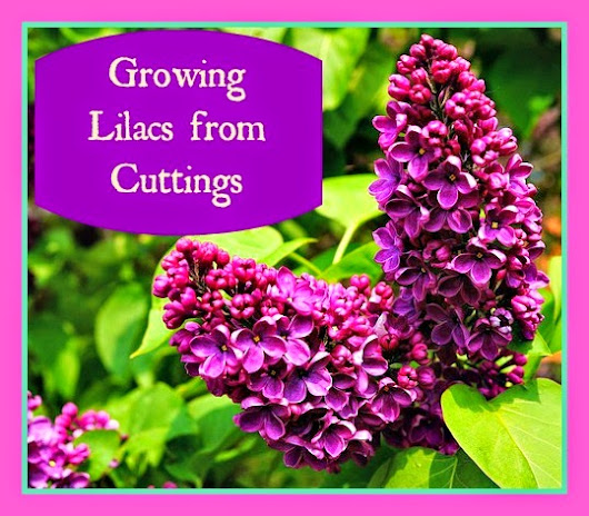 Growing Lilacs from Cuttings