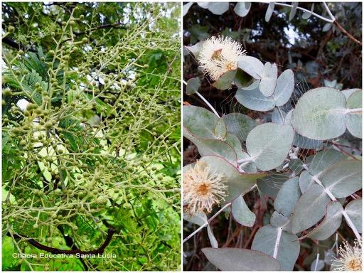 Pimpollos de aromo / Eucaliptus gris en flor - Chacra Educativa Santa Lucía