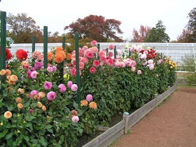 Benefits of Dahlias Flowers