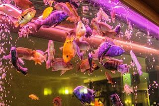 Hewan ternak ikan hias yang mudah dan menguntungkan