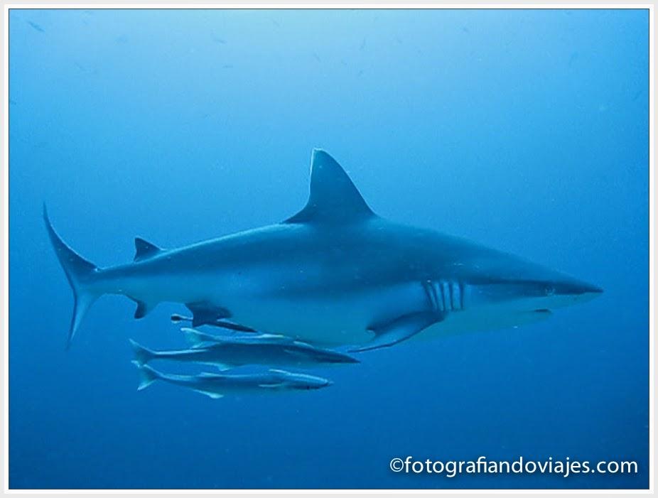 Tiburon gris con rémoras