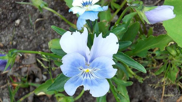 Lichtblauw viooltje