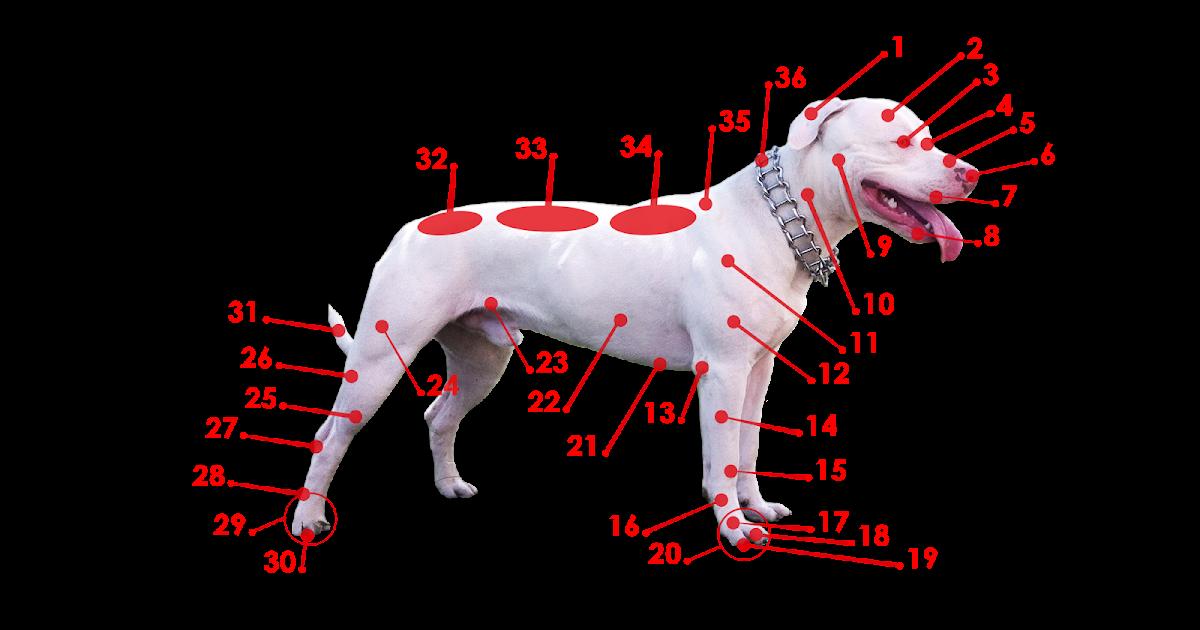 Familia Canina Morfología Canina Estructura Corporal Del