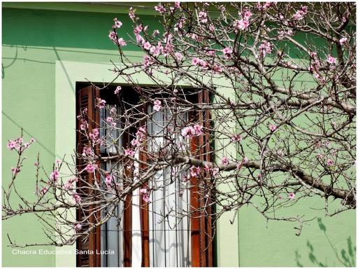 Pequeñas flores rosadas de algún frutal o ciruelo de jardín - Chacra Educativa Santa Lucía