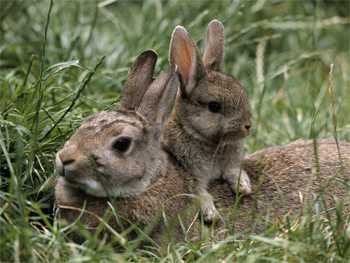 image of a baby bunny hanging out on its mama's back, in the grass
