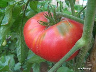 Συντήρηση ντομάτας εκτός ψυγείου για καλύτερη γεύση