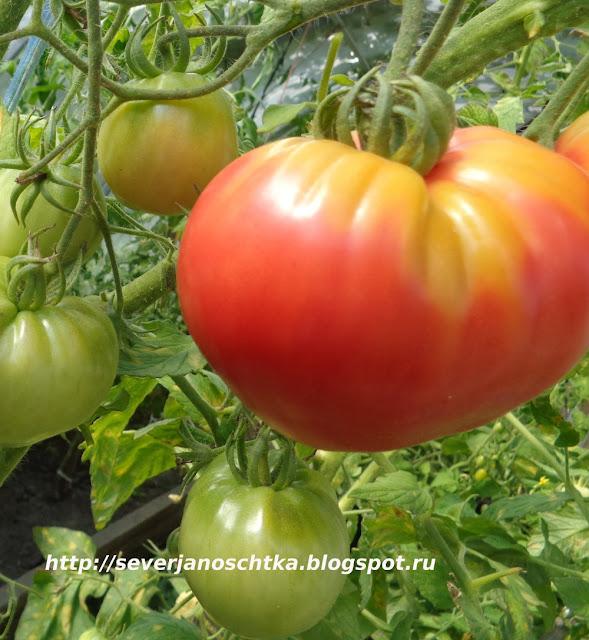 крупные томаты Мазарини