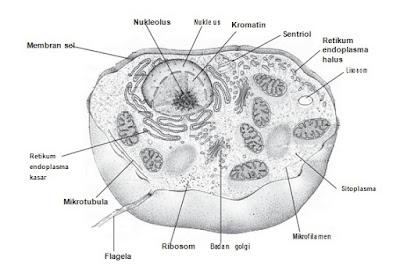Struktur Lengkap Sel Hewan