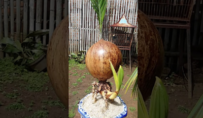 Penyemaian Bibit Pohon Kelapa