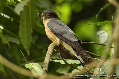 Malay Hawk-cuckoo