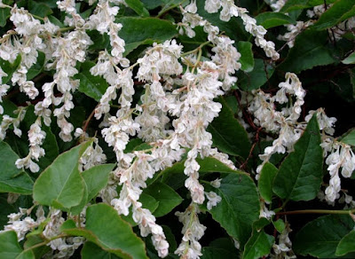 Polygonum baldschuanica white flowers
