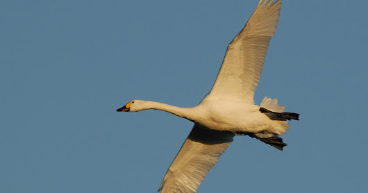Time flies! The first Bewick's swan of the season has set off for the Arctic signalling that spring is near