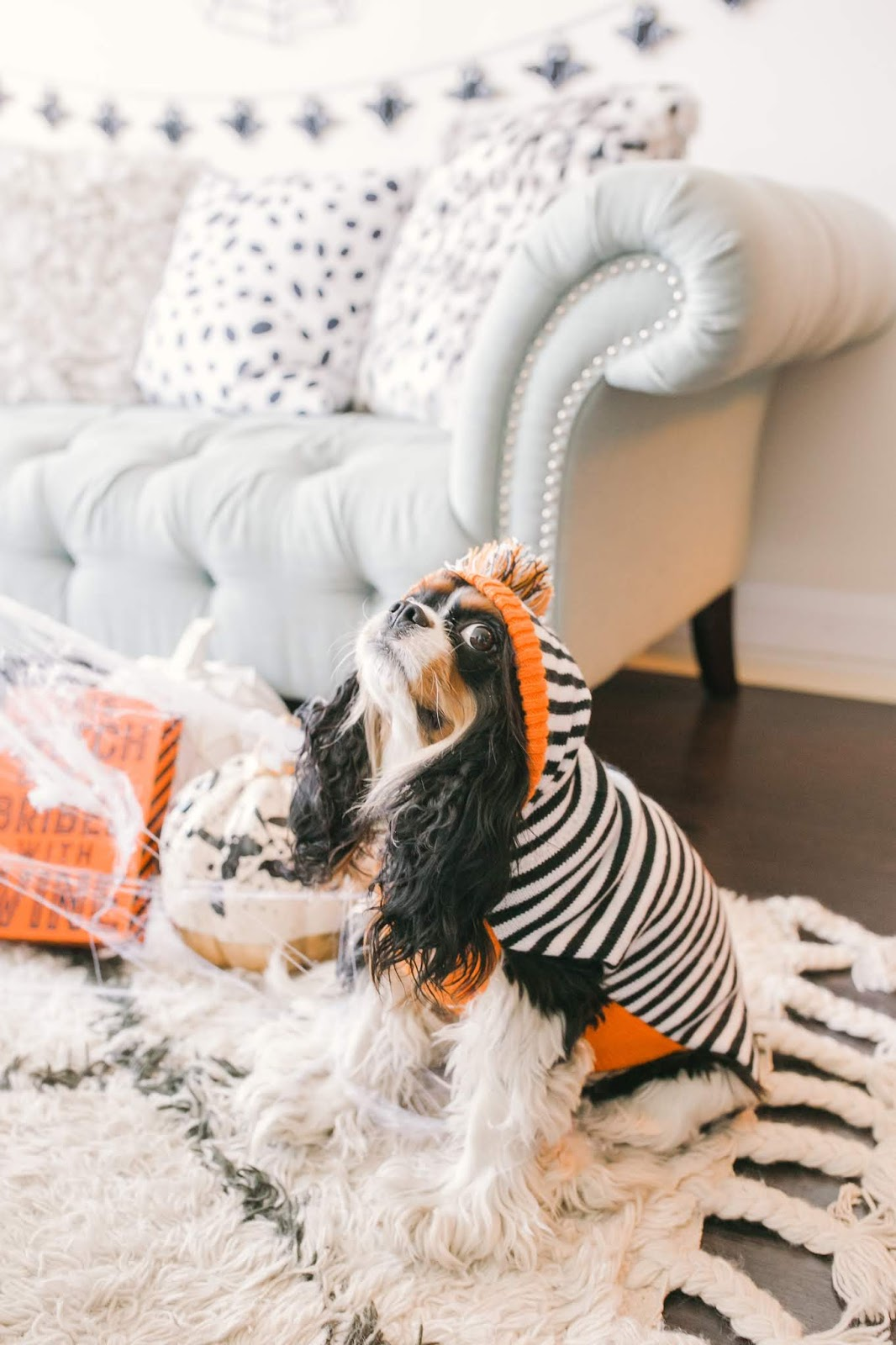 Bijuleni - How to Decorate Your Living Room for Halloween - Cavalier King Charles Spanie puppy dressed up for Halloweenl
