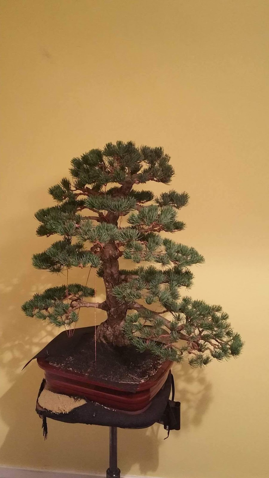 DJ BONSAI A Lovely Japanese White Pine Pt 2