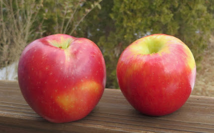 Two large apples, red over yellow