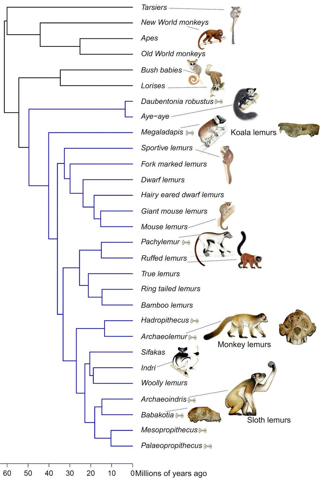 Lemur Family Tree Shake Up Extinct Living Lemurs In One