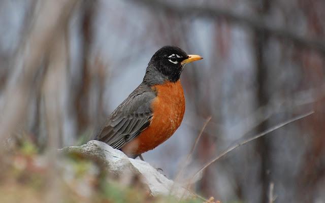 american robin photos bird