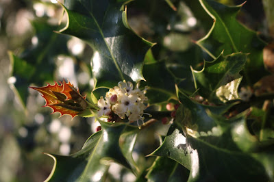 Pic of sunlight on holly flowers and prickly leaves