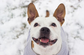 Breed Specific Legislation (BSL) made no difference to dog bite injuries in Odense, Denmark. One of the banned breeds was the American Staffordshire Terrier, like this happy AmStaff pictured.