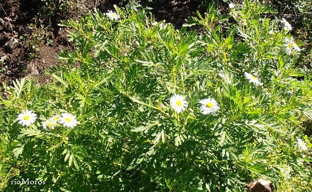 Margarita de monte Argyranthemum broussonetii
