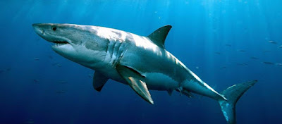 Λευκός καρχαρίας πιάστηκε στα δίχτυα ψαράδων στο Αιγαίο! - Τον ξαναέριξαν στην θάλασσα - Ήταν ακόμα ζωντανός