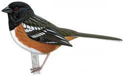 Pipilo maculatus