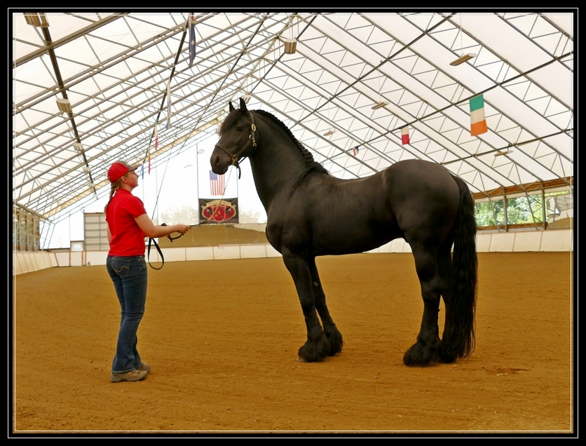 Award Winning Stallion Othello