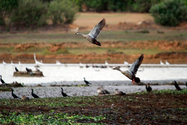 Eastern spot-billed duck - Shivamogga