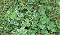 clover weed killer for lawns