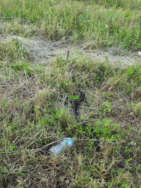 Long snake in the grass near water