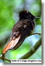 Ruby-topaz Hummingbird (Chrysolampis mosquitus) birds of the West Indies