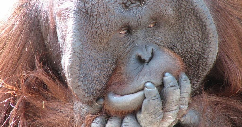 orangutan+flange+flanged+male+1.jpg