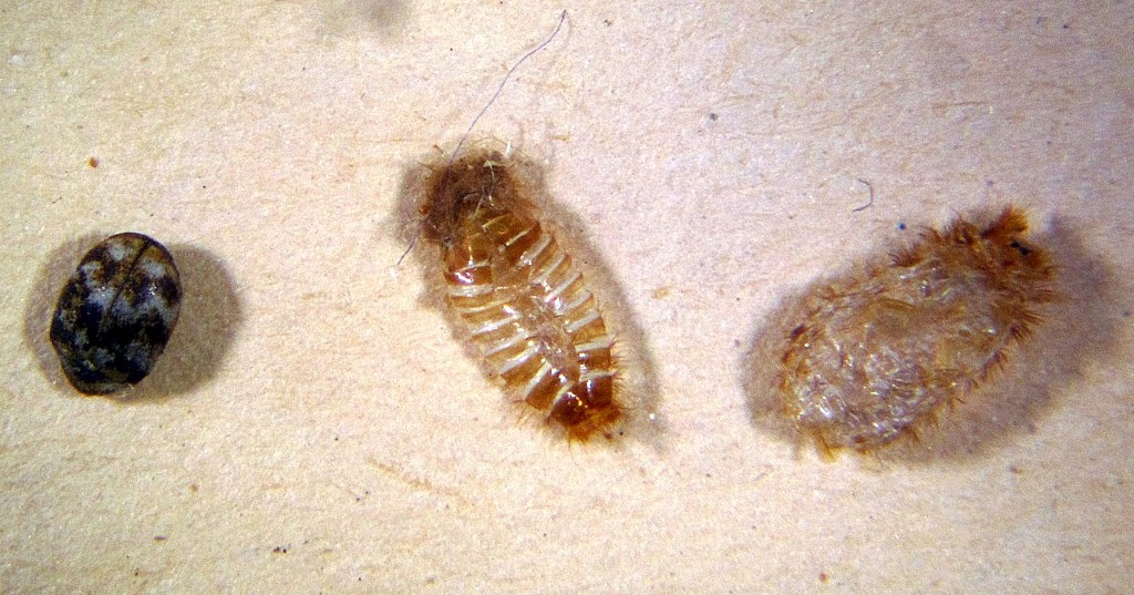 Will Bed Bugs Hide In Carpet