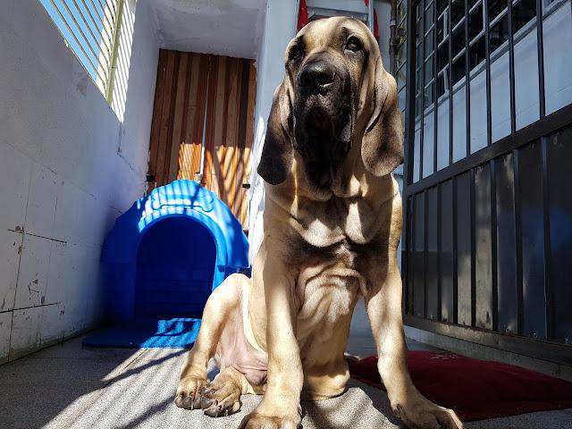 cão de guarda de alta linhagem