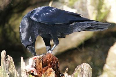 scavenger raven