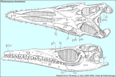 Plotosaurus skull
