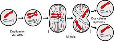 Mitosis y biologia