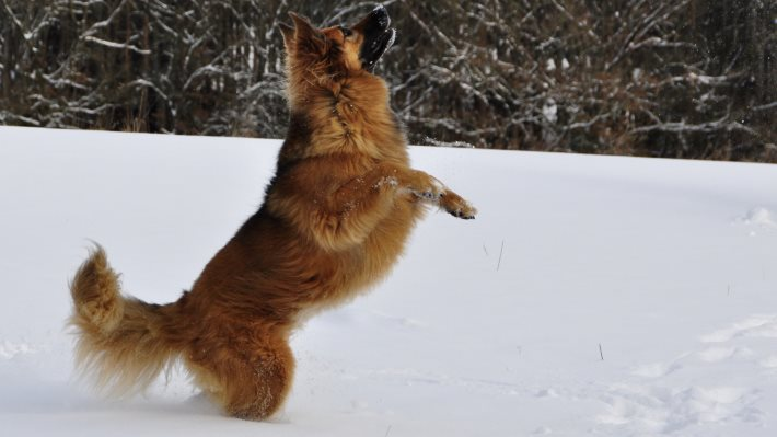 Wallpaper: Dog running through snow