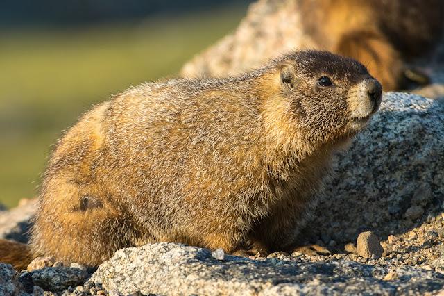 Marmot, Mount Evans