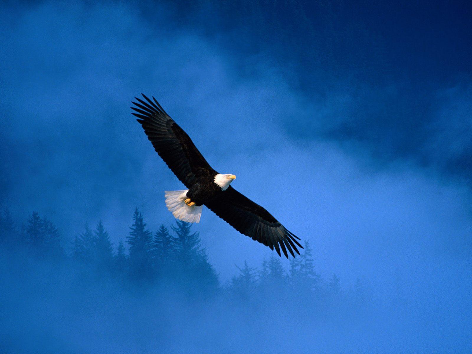Free Wallpapers Blog Bald Eagle Wallpaper