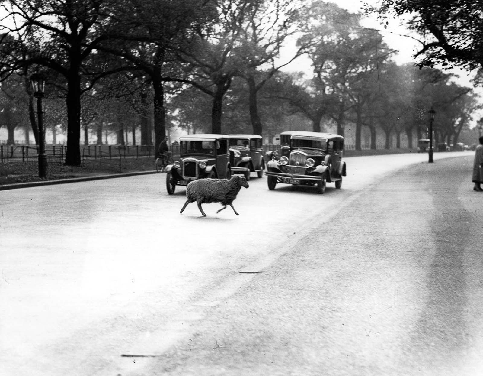 A straggler dodges traffic in Hyde Park. 1933.
