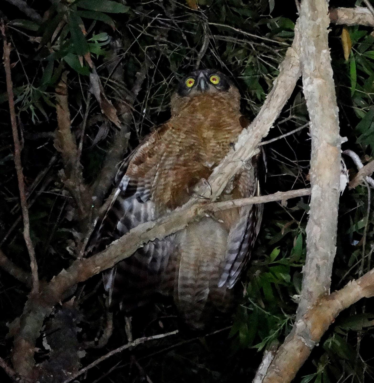 Rufous owl - photo#45