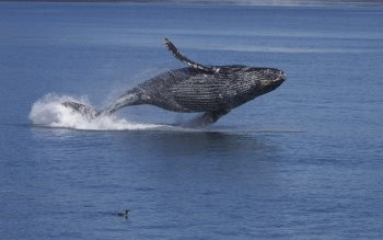 Wallpaper: Breaching Humpback Whale