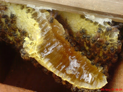 madu hutan kalimantan gholiban plus bee pollen dan royal jelly