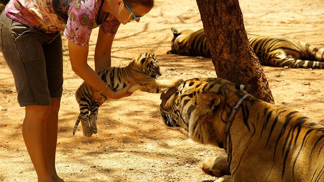 Женщина держит тигренка в руках и протягивает его тигру