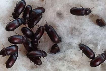 Keuntungan dari budidaya semut jepang